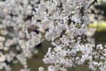 今年は桜の開花が早いです!