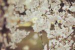 今年の桜は早いです!