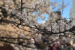 京都も桜が見ごろですよ!!
